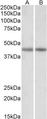 WB - creatine kinase M-type (aa258-270) Antibody (internal region) AF3954a