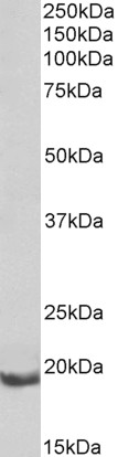 WB - bcl-2-related protein A1 (rat) Antibody (internal region) AF4002a