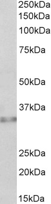WB - Caspase 6 (alpha) Antibody (internal region) AF4005a
