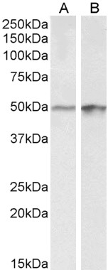 WB - Transcription factor E2F4 Antibody (internal region) AF4034a