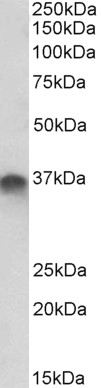 WB - syntaxin 11 Antibody (internal region) AF4065a