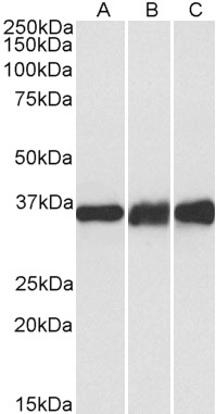 WB - LDHB  Antibody (internal region, near C-Term) AF4088a