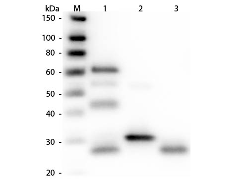 WB - Anti-Chicken IgG (H&L) Antibody (Peroxidase Conjugated) ASR1085