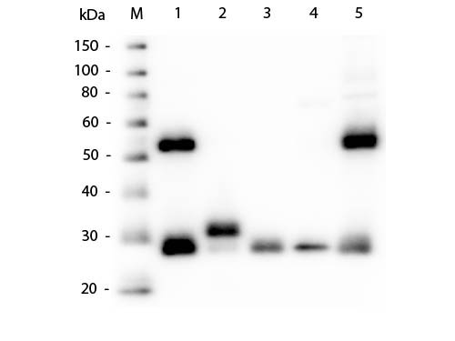 WB - Anti-MOUSE IgG (H&L)  Secondary Antibody ASR1149