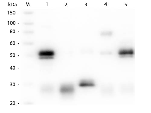 WB - Anti-Rabbit IgG (H&L)  (ATTO 594 Conjugated) Pre-Adsorbed Secondary Antibody ASR1169