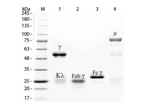 - Rabbit IgG Peroxidase  ASR1288