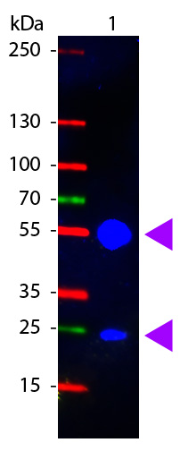 WB - Anti-Swine IgG (H&L)  (Fluorescein Conjugated) Secondary Antibody ASR1441