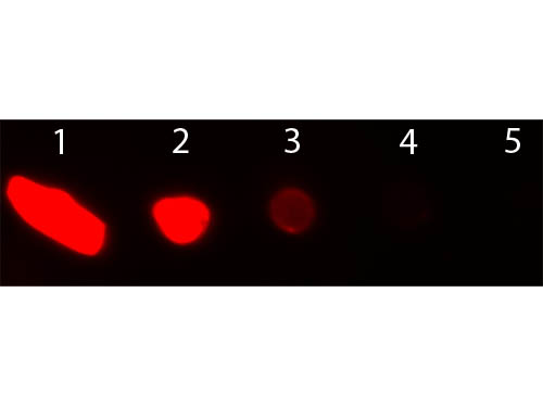 DB - Anti-Goat IgG (H&L)  (Texas Red™ Conjugated) Secondary Antibody ASR1569