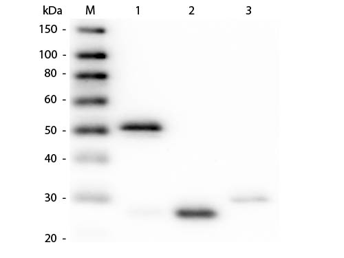 WB - Anti-Rabbit IgG (H&L)  Pre-Adsorbed Secondary Antibody ASR1636