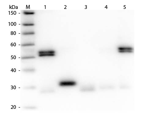 WB - Anti-Rat IgG (H&L)  (Fluorescein Conjugated) Pre-Adsorbed Secondary Antibody ASR1650