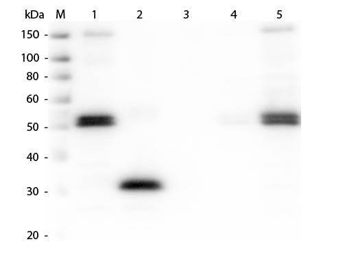 WB - Anti-Rat IgG F(c)  Secondary Antibody ASR1655