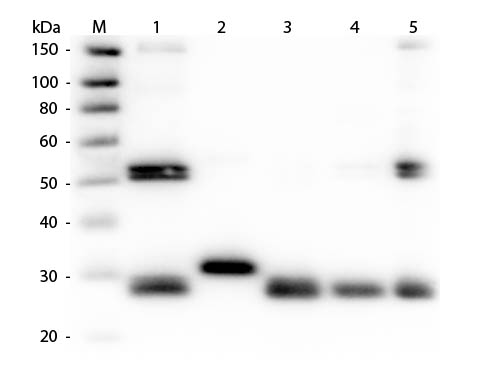 WB - Anti-Rat IgG (H&L)  (Fluorescein Conjugated) Pre-Adsorbed Secondary Antibody ASR1656