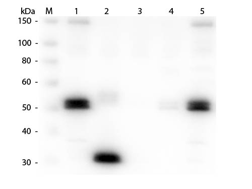 WB - Anti-Rat IgG F(c)  (Rhodamine Conjugated) Secondary Antibody ASR1824