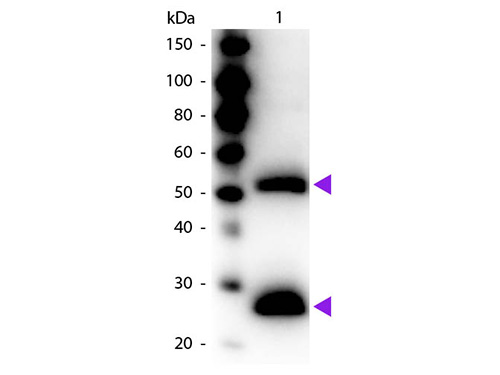 WB - F(ab')2  Anti-Mouse IgG (H&L)  (Peroxidase Conjugated) Secondary Antibody ASR1857