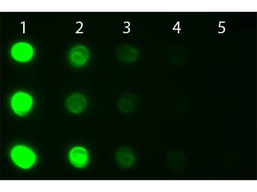 DB - Anti-Human IgG IgA IgM (H&L)  (Fluorescein Conjugated) Secondary Antibody ASR1918