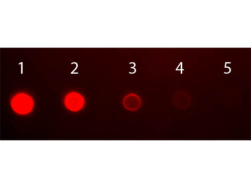 DB - Anti-Human IgA (alpha chain)  (Fluorescein Conjugated) Secondary Antibody ASR1923