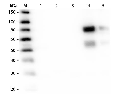 WB - Anti-Rat IgM (mu chain)  Secondary Antibody ASR2058