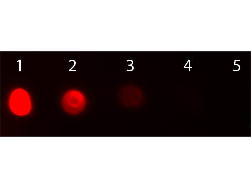 DB - F(ab')2  Anti-Bovine IgG (H&L)  (Texas Red™ Conjugated) Secondary Antibody ASR2066