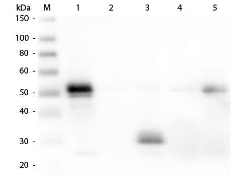 WB - Anti-Rabbit IgG F(c)  (Texas Red Conjugated) Secondary Antibody ASR2221