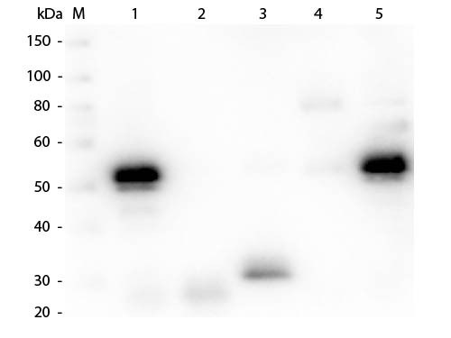 WB - Anti-Rabbit IgG (H&L)  (Texas Red™ Conjugated) Secondary Antibody ASR2224