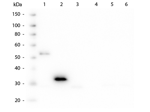 WB - Anti-Human IgG F(c)  Secondary Antibody ASR2310