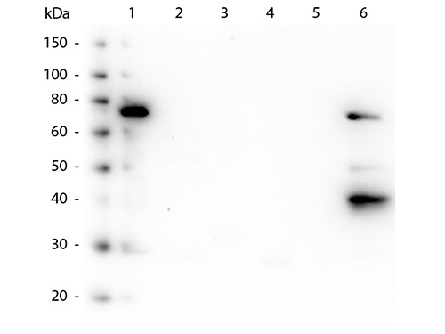WB - Anti-Human IgM (Fc5µ)  Secondary Antibody ASR2311