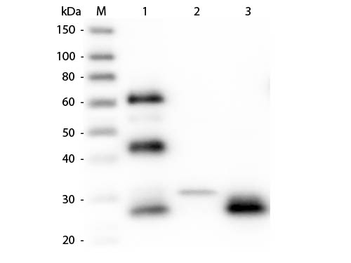 WB - Anti-Chicken IgG F(ab')2  Secondary Antibody ASR2322
