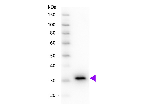 WB - Anti-Mouse IgG F(c)  (Peroxidase Conjugated) Secondary Antibody ASR2351