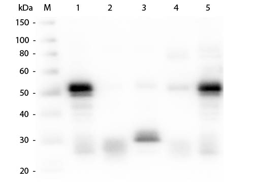 WB - Anti-Rabbit IgG (H&L)  (Alkaline Phosphatase Conjugated) Pre-Adsorbed Secondary Antibody ASR2355