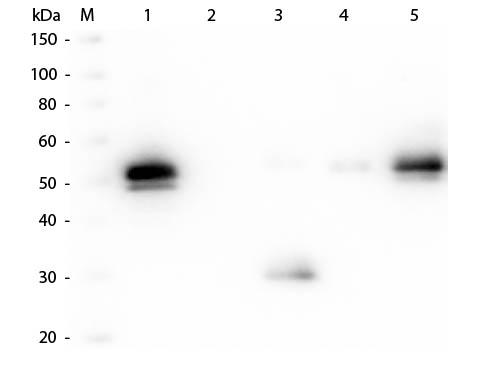 WB - Anti-Rabbit IgG F(c)  (Peroxidase Conjugated) Pre-Adsorbed Secondary Antibody ASR2487