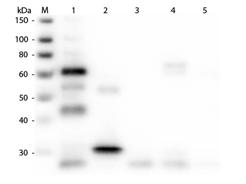 WB - Anti-Chicken IgG (H&L)  (Fluorescein Conjugated) Pre-Adsorbed Secondary Antibody ASR2654