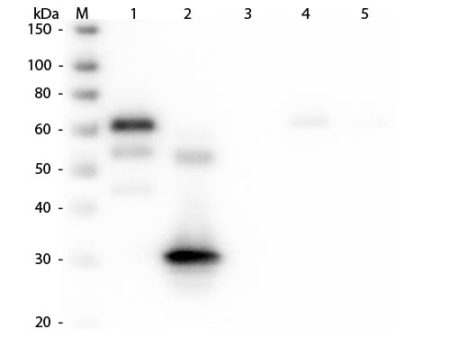 WB - Anti-Chicken IgG F(c)  (Peroxidase Conjugated) Secondary Antibody ASR2657