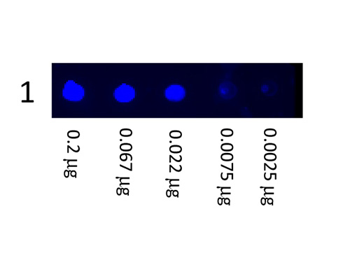 DB - Anti-Mouse IgG (H&L)  (Fluorescein Conjugated) Pre-Adsorbed Secondary Antibody ASR2716