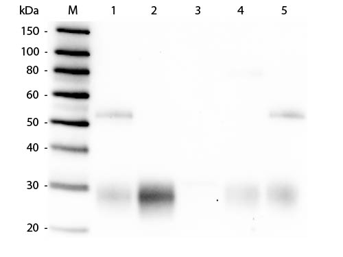 WB - Anti-Rabbit IgG F(ab')2  (Alkaline Phosphatase Conjugated) Pre-Adsorbed Secondary Antibody ASR2768