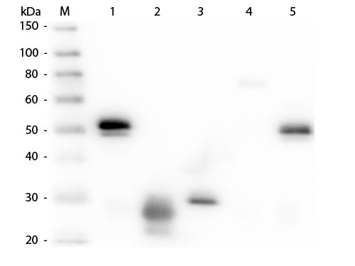 WB - Anti-Rabbit IgG (H&L)  (Rhodamine Conjugated) Pre-Adsorbed Secondary Antibody ASR2777