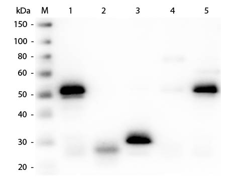 WB - Anti-Rabbit IgG (H&L)  (Fluorescein Conjugated) Pre-Adsorbed Secondary Antibody ASR2782
