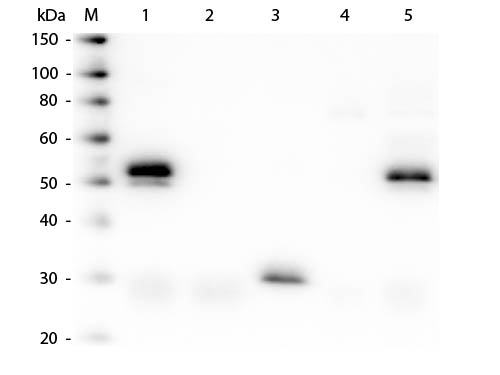 WB - Anti-Rabbit IgG (H&L)  (Fluorescein Conjugated) Pre-Adsorbed Secondary Antibody ASR2786
