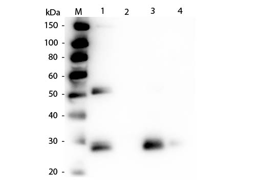 WB - Anti-Rat IgG F(ab')2  (Peroxidase Conjugated) Secondary Antibody ASR2798