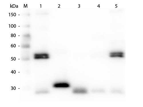 WB - Anti-Rat IgG (H&L)  (Alkaline Phosphatase Conjugated) Secondary Antibody ASR2802