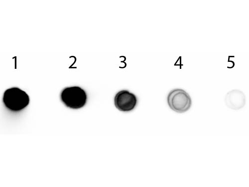 DB - Anti-Chicken IgG F(ab')2  (Alkaline Phosphatase Conjugated) Secondary Antibody ASR2841