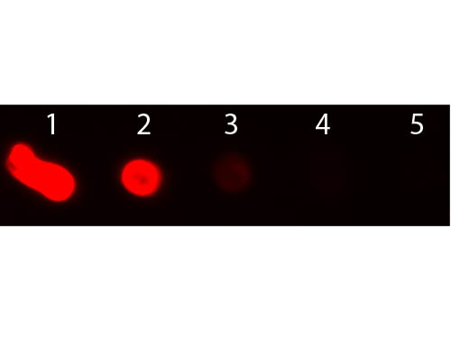 DB - Anti-Mouse IgM (mu chain)  (Texas Red™ Conjugated) Secondary Antibody ASR2852