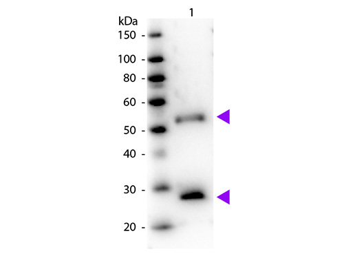 WB - Anti-Mouse IgG (H&L)  (Peroxidase Conjugated) Pre-Adsorbed Secondary Antibody ASR2960
