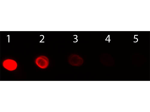 DB - F(ab')2  Anti-Horse IgG (H&L)  (Phycoerythrin Conjugated) Secondary Antibody ASR2985