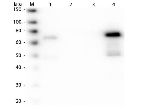 WB - Anti-Chicken IgM (mu chain)  (Alkaline Phosphatase Conjugated) Secondary Antibody ASR3082