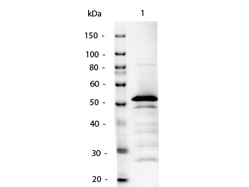 WB - Anti-Mouse IgG2a (Gamma 2a chain)  (Alkaline Phosphatase Conjugated) Secondary Antibody ASR3098