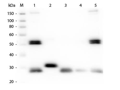 WB - Anti-Rat IgG (H&L)  (Alkaline Phosphatase Conjugated) Pre-Adsorbed Secondary Antibody ASR3107