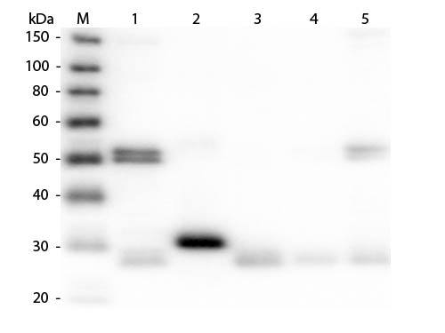 WB - Anti-Rat IgG (H&L)  (Alkaline Phosphatase Conjugated) Pre-Adsorbed Secondary Antibody ASR3109
