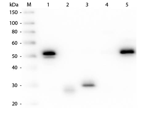 WB - Anti-Rabbit IgG (H&L)  (Alkaline Phosphatase Conjugated) Pre-Adsorbed Secondary Antibody ASR3135