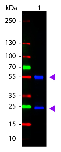 WB - Anti-Mouse IgG (H&L)  (ATTO 488 Conjugated) Pre-Adsorbed Secondary Antibody ASR3232