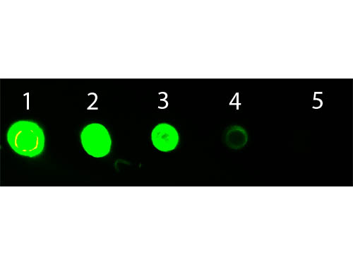 DB - Anti-MOUSE IgG3  (ATTO 532 Conjugated) Pre-adsorbed Secondary Antibody ASR3236